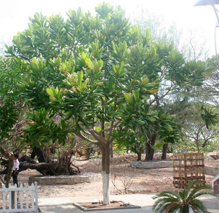 Đặc điểm của cây bàng vuông