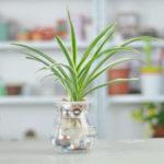 Kỹ thuật trồng cây Dây nhện tại nhà – cây cảnh đẹp Dây nhện