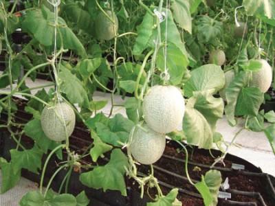 Cách trồng dưa lê trong nhà màng