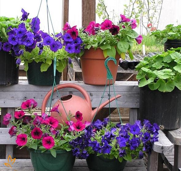 Cách trồng dạ yến thảo