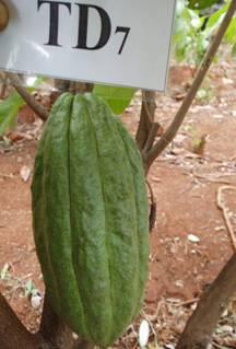 CacaoTD7-qua