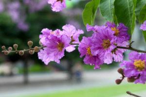 Hoa bằng lăng tím