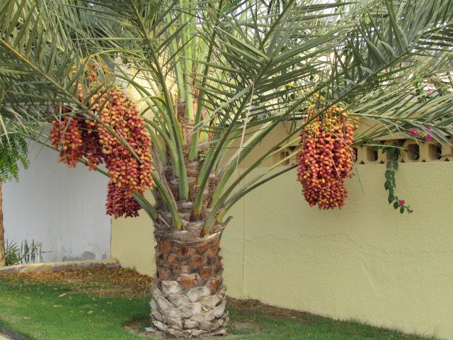 Cây chà là - cây ăn quả trồng tại nhà có diện tích nhỏ