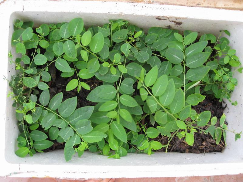 Hướng dẫn cách trồng rau ngót