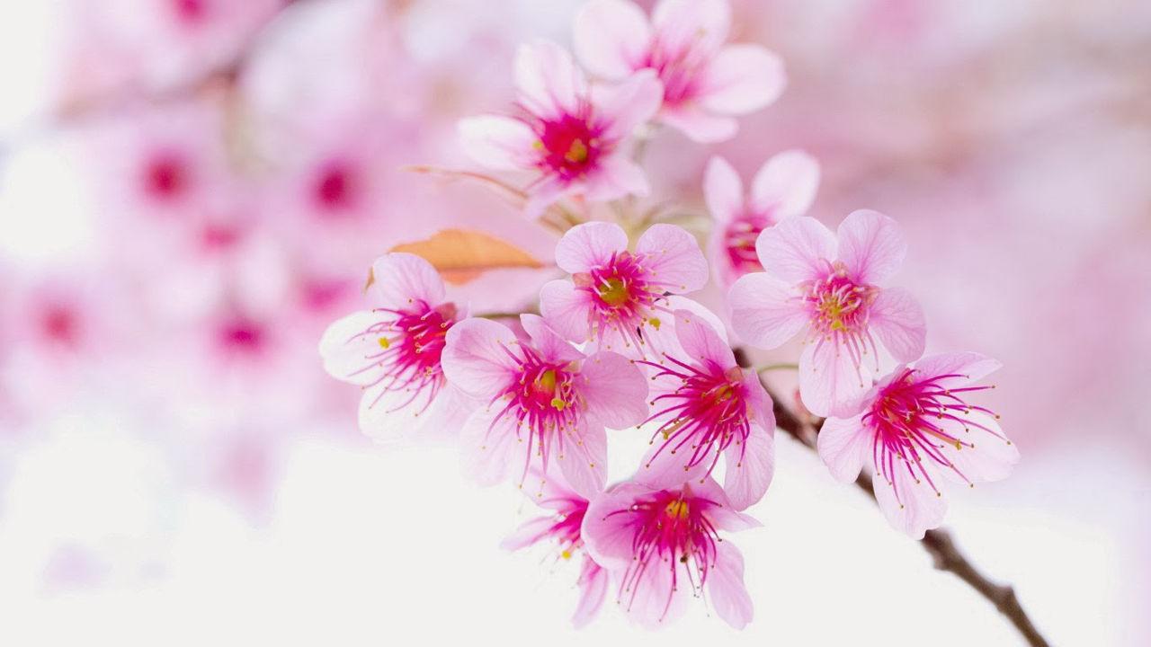 Da rạng ngời như hoa mùa xuân - cách làm đẹp da bằng hoa đào