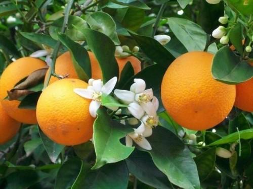 Phòng trừ sâu bệnh để mang lại năng suất cao cho cam vinh
