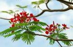 Cách trồng phượng vĩ cho đỏ thắm