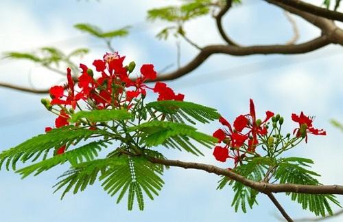 cách trồng hoa phượng vĩ