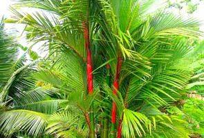 Sắc đỏ đặc trưng trên cau cảnh đỏ