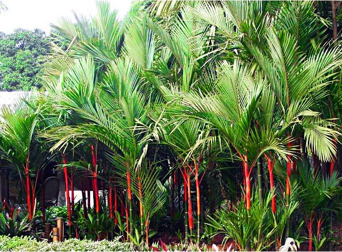 Cách trồng cau kiểng đỏ