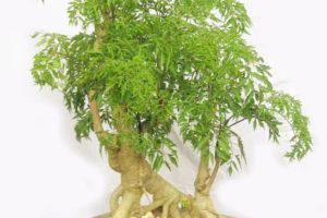 Trồng cây dược liệu đinh lăng