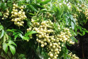 Giới thiệu nguồn gen cây mác mật (Clausena indica Daizell (Oliv.))