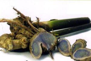 Đặc điểm cây nghệ đen