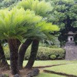 Hướng dẫn cách trồng cây vạn tuế