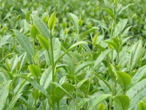 Kết quả nghiên cứu sinh trưởng, phát triển của cây chè con giống Shan chất tiền (Camellia sinensis) nhân giống bằng phương pháp nuôi cấy mô ở điều kiện đồng ruộng