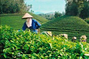 Kết quả nghiên cứu tuyển chọn giống chè mới năng suất cao từ các dòng chè lai cứu phôi ở điều kiện Phú Hộ, Phú Thọ