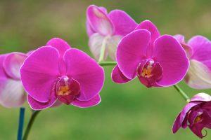 Hướng dẫn cách trồng lan hồ điệp cho hoa ra đều