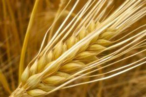 Quy trình kỹ thuật gieo trồng Đại mạch