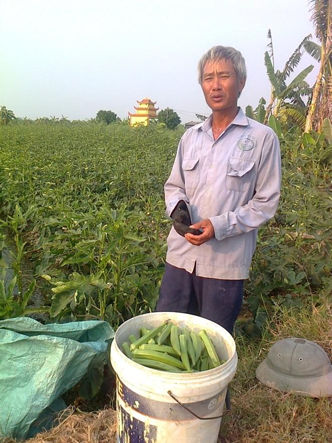 Giống đậu bắp Đông Anh cho năng xuất quả cao