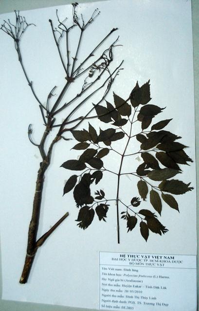 Đặc điểm cây hoa Đinh lăng