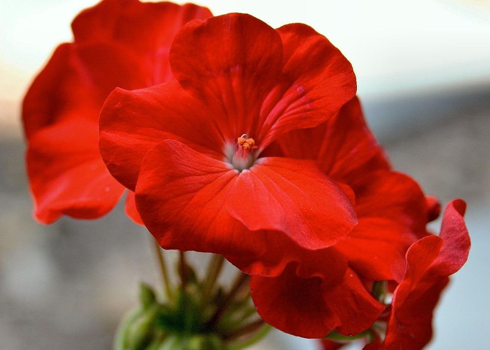 Vẻ đẹp hoa Phong lữ