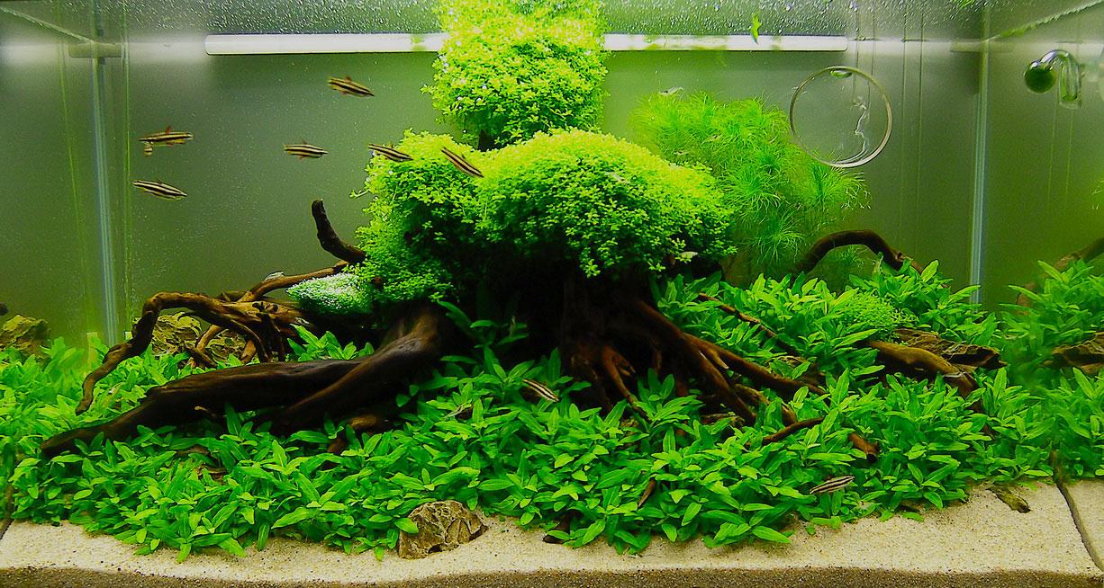 Cây thủy sinh Trân châu Nhật