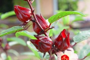 Cây rau chua (Hibiscus sabdariffa L.) và kỹ thuật gieo trồng
