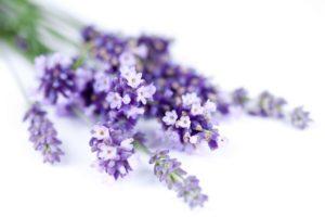 Cách trồng hoa Oải hương