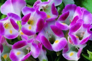 Hoa Tô liện hay còn gọi là hoa Mắt nai
