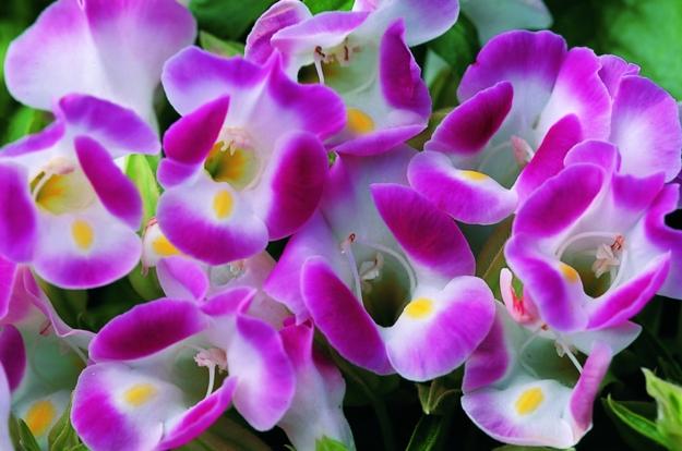 Hoa Tô liên hay còn gọi là hoa Mắt nai