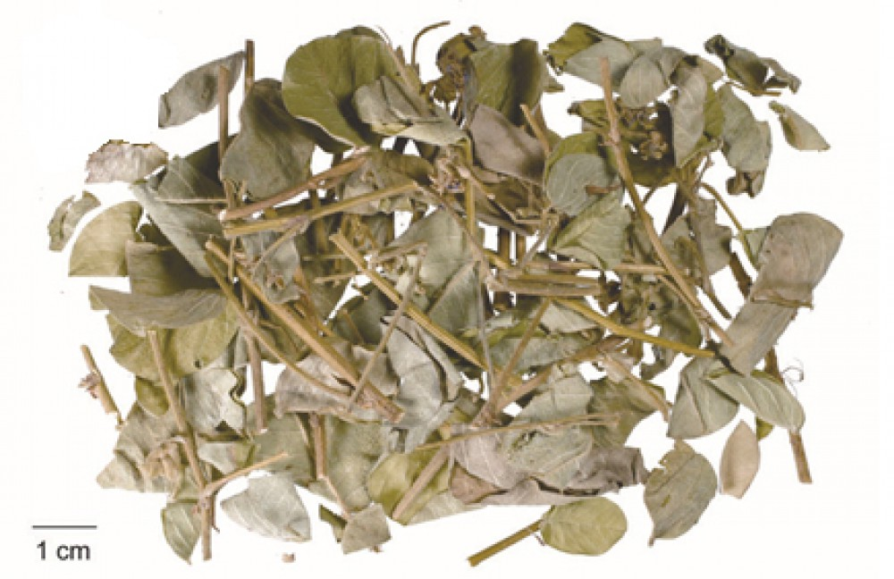 Kim tiền thảo có là loại dược liệu quý