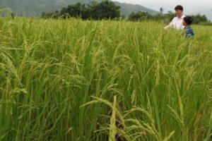 Quy trình kỹ thuật sản xuất giống lúa Khẩu Ký