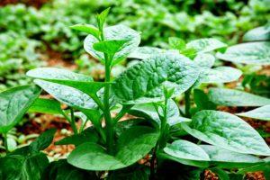 Rau mùng tơi-loại rau bổ dưỡng, an toàn