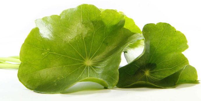 Ăn 2 lá rau má tươi mỗi ngày giúp chữa thấp khớp