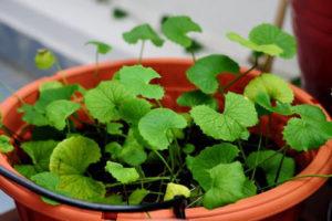 Hướng dẫn cách trồng rau má