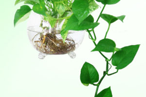 Kỹ thuật trồng cây Vạn niên thanh