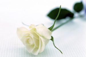 Bạn đã biết về công dụng của hoa hồng trắng?