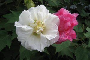 """Công dụng của loài hoa """"thay đổi khó lường"""" – Phù dung"""