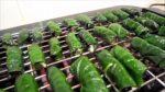 Cây thuốc quanh ta: Lá lốt và các món ăn bài thuốc từ Lá Lốt