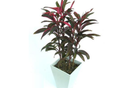 Hướng dẫn trồng cây huyết dụ trong nhà