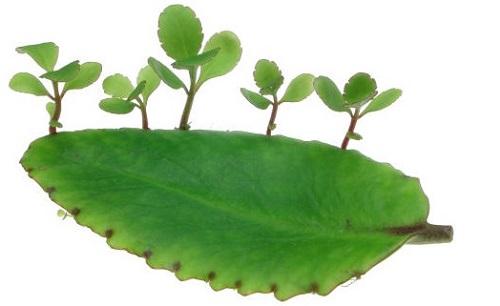 Giâm lá cũng là 1 cách để trồng cây sống đời