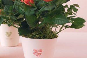 Cách trồng hoa hồng đẹp trong chậu