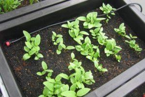 Hướng dẫn cách trồng rau mồng tơi: trồng rau sạch