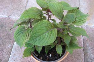 Hướng dẫn cách trồng rau tía tô tại nhà