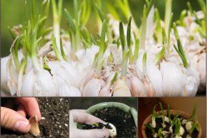 Nhanh gọn với 6 bước trồng tỏi tại nhà