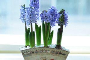 Cách trồng và chăm sóc hoa dạ lan hương chơi tết Đinh Dậu