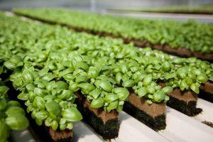 Hướng dẫn cách trồng rau chân vịt tại nhà