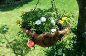 Bí quyết trồng và chăm sóc hoa 10 giờ sai hoa
