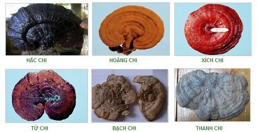 6 loại nấm linh chi đang được nghiên cứu
