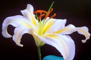 Hướng dẫn cách trồng và chăm sóc hoa lily trong chậu